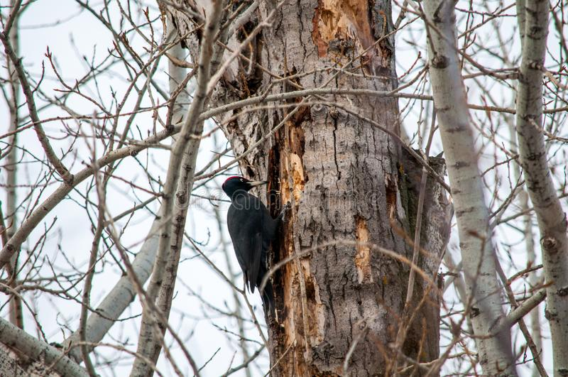 Woodpecker sitting on the tree. And produces his own food royalty free stock photo