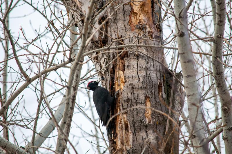 Woodpecker sitting on the tree. And produces his own food stock image