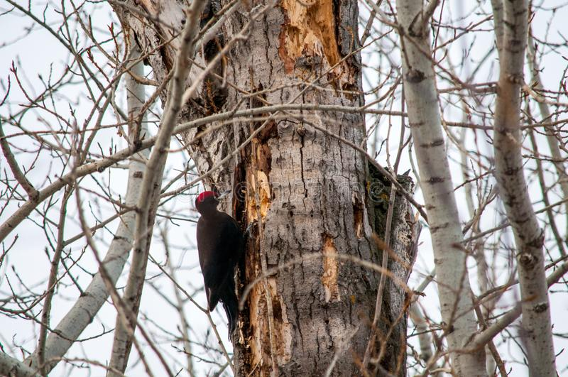 Woodpecker sitting on the tree. And produces his own food stock photo