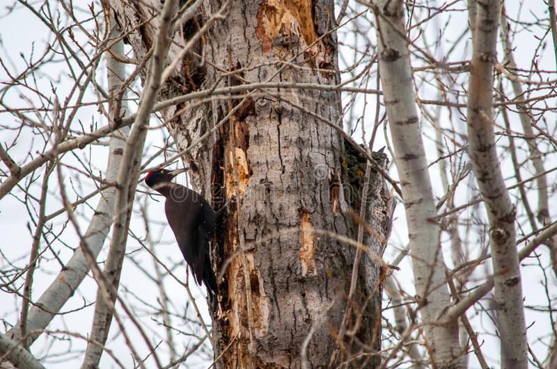 Woodpecker sitting on the tree. And produces his own food royalty free stock photos