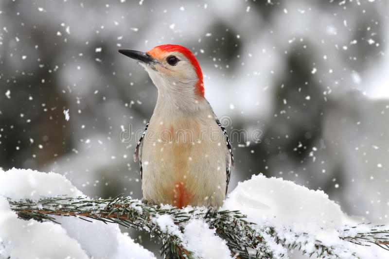 Woodpecker in snow. Female Red-bellied Woodpecker (Melanerpes carolinus) on branch in snow stock photos