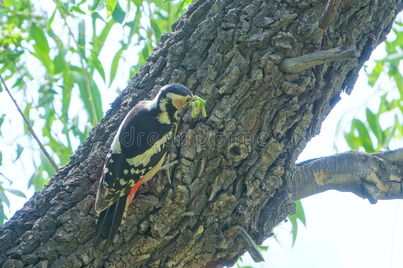 Woodpecker. A Woodpecker stands on tree trunk with many worms in its mouth. Scientific name: Dendrocopos major stock image