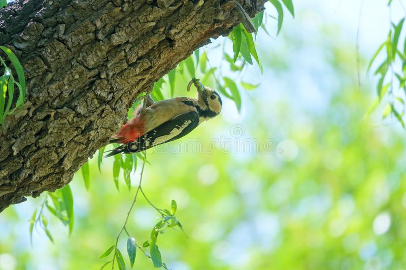 Woodpecker. The Woodpecker stands on trunk with many worms in its mouth. Scientific name: Dendrocopos major stock image