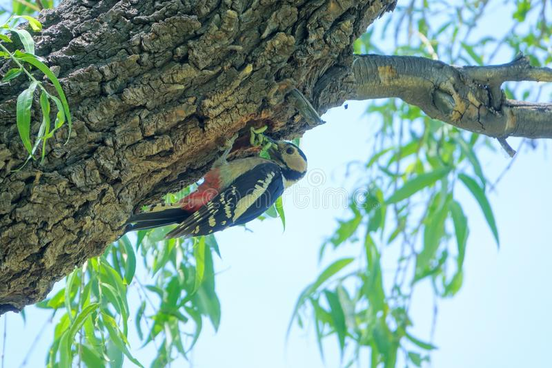 Woodpecker. A Woodpecker stans on trunk with many worms in its mouth. Scientific name: Dendrocopos major royalty free stock photography