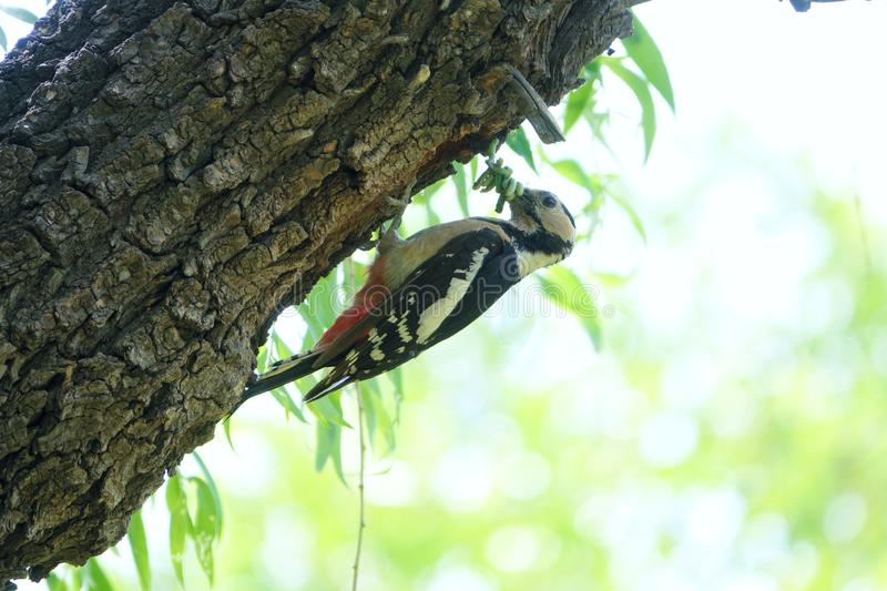 Woodpecker. A Woodpecker stans on trunk with many worms in its mouth. Scientific name: Dendrocopos major royalty free stock images