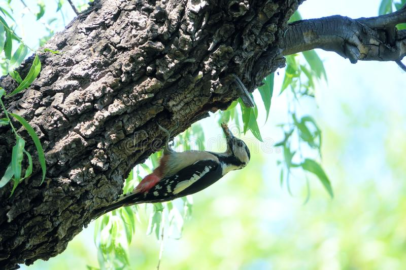 Woodpecker. A Woodpecker stans on trunk with many worms in its mouth. Scientific name: Dendrocopos major stock photo