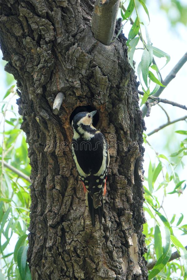 Woodpecker. A Woodpecker stans on trunk. Scientific name: Dendrocopos major stock photography