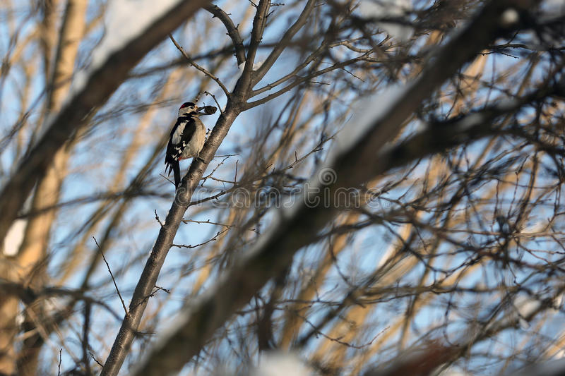 Woodpecker. The Syrian woodpecker (Dendrocopos syriacus stock images
