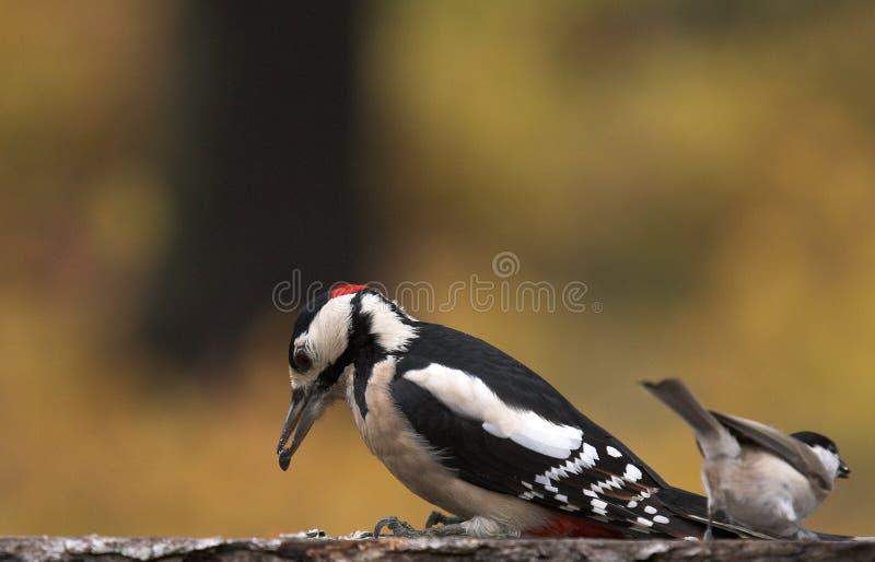woodpecker titmouse стоковая фотография rf