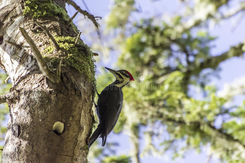 Woodpecker. On a tree with blue sky Victoria British Columbia Canada stock photo