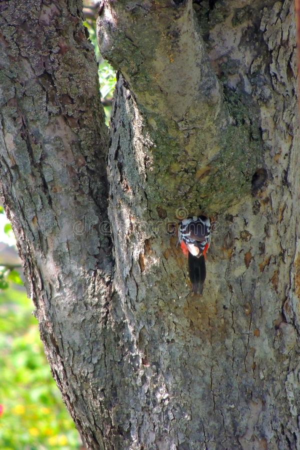 Woodpecker on a tree. Male Downy Woodpecker with beautiful red, white and black plumage is perched on a tree searching for insects. He is photographed in profile royalty free stock photos