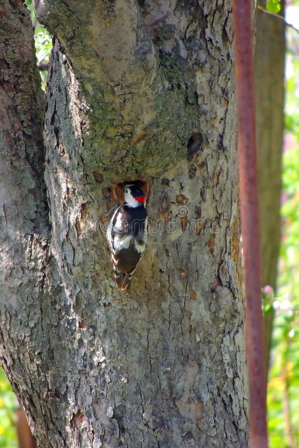 Woodpecker on a tree. Male Downy Woodpecker with beautiful red, white and black plumage is perched on a tree searching for insects. He is photographed in profile stock photo