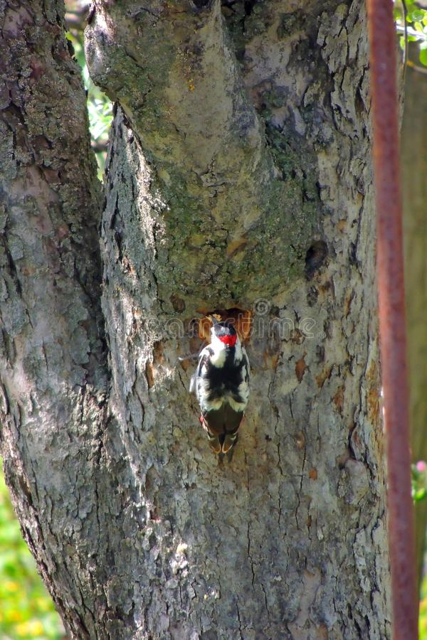 Woodpecker on a tree. Male Downy Woodpecker with beautiful red, white and black plumage is perched on a tree searching for insects. He is photographed in profile stock photos