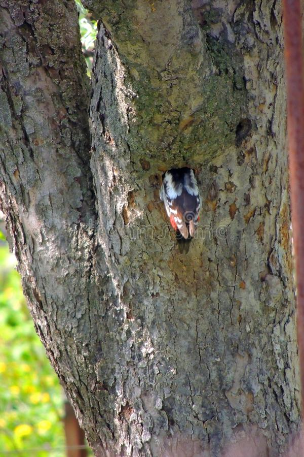 Woodpecker on a tree. Male Downy Woodpecker with beautiful red, white and black plumage is perched on a tree searching for insects. He is photographed in profile stock photography