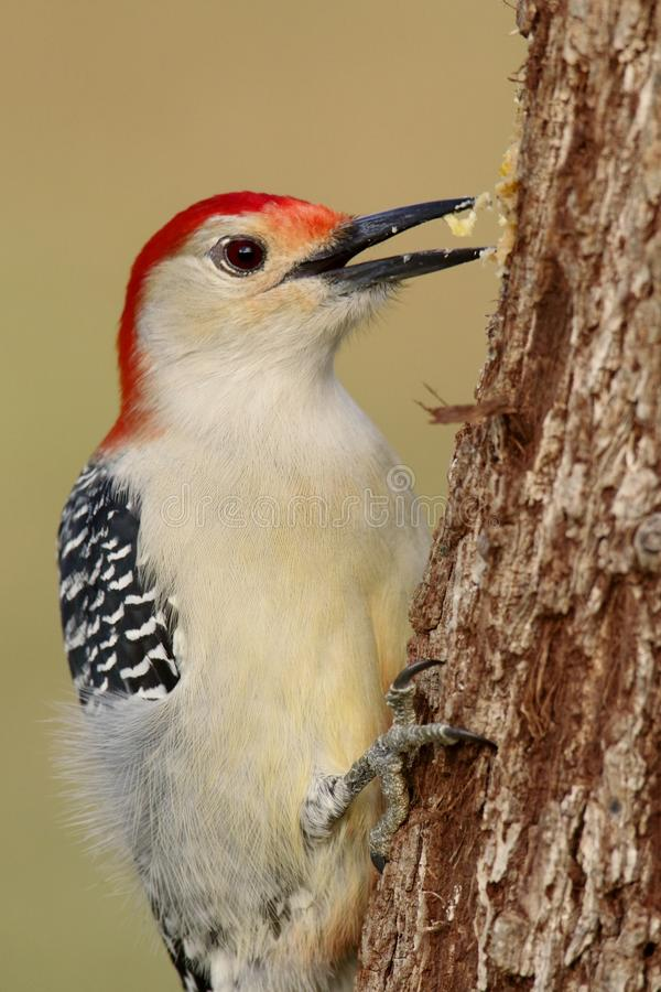 Woodpecker on a tree trunk royalty free stock image