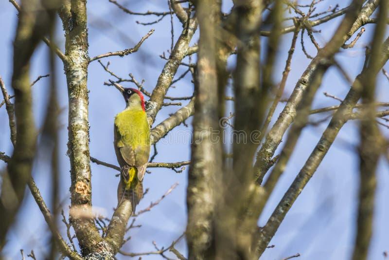 Woodpecker verde (viridis do Picus) fotos de stock royalty free