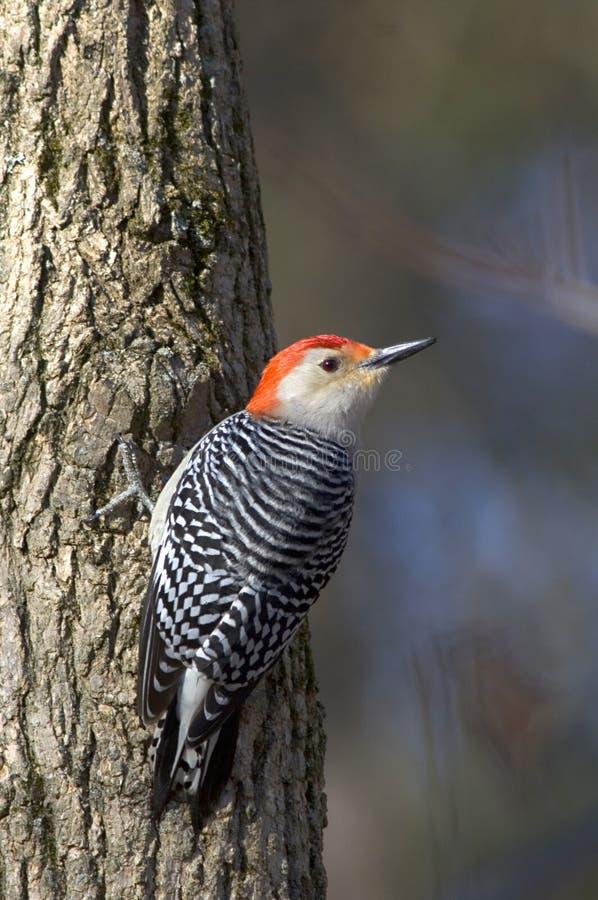 woodpecker Vermelho-inchado em uma árvore imagens de stock royalty free