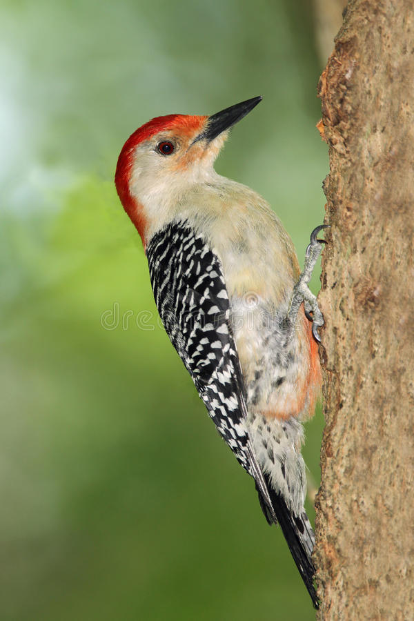 Woodpecker Vermelho-inchado macho imagens de stock royalty free