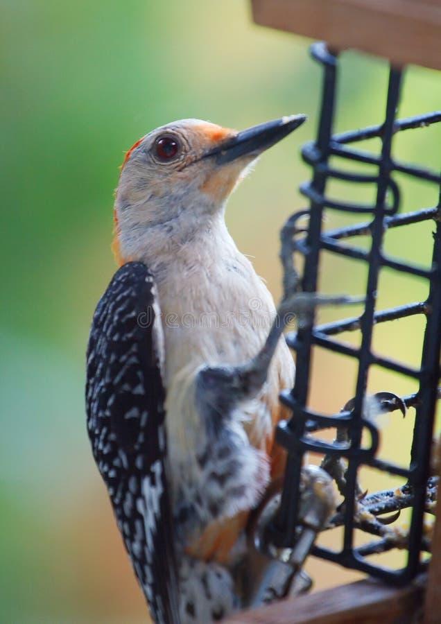 Woodpecker Vermelho-Inchado no alimentador foto de stock