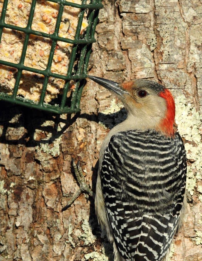 Woodpecker Vermelho-inchado no alimentador do Suet foto de stock royalty free