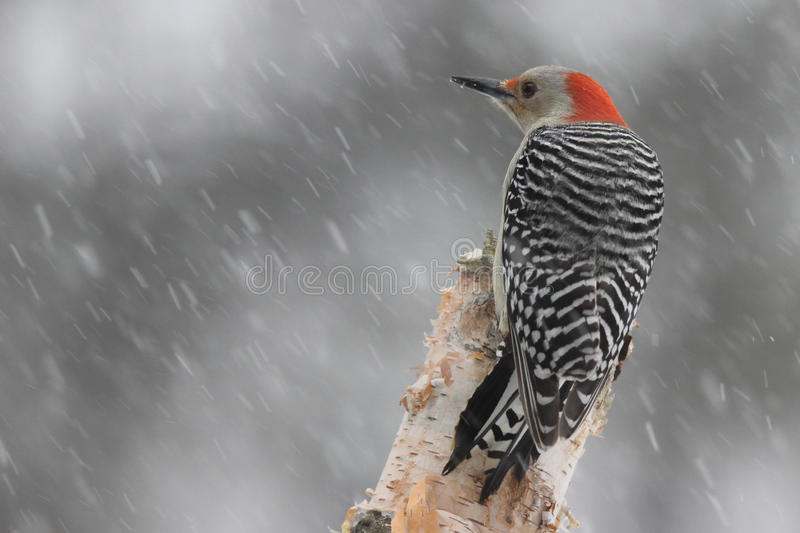 Woodpecker in a Winter Storm. A red bellied woodpecker perching in a winter snow storm royalty free stock photography