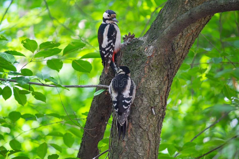 2 woodpeckers сидят на дереве в парке стоковая фотография