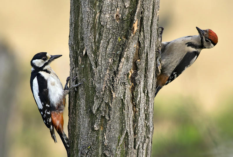 Woodpeckers. Two young woodpecker climbing on the wood stock photography