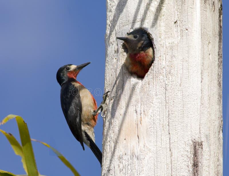 Woodpeckers imagem de stock royalty free