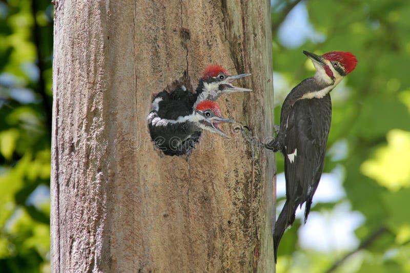 Woodpeckers com fome do bebê foto de stock royalty free