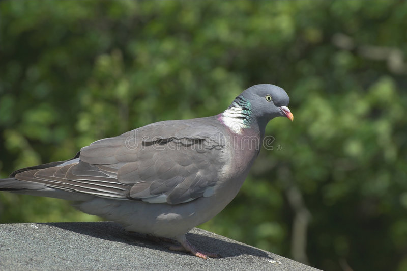 Woodpigeon royalty-vrije stock foto