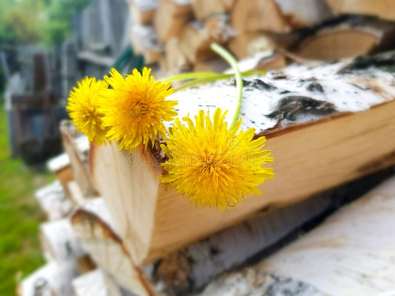 Woodpile του καυσόξυλου σημύδων Ανθοδέσμη των κίτρινων πικραλίδων στο φράκτη Προετοιμασία του ξύλου για το φούρνο στοκ εικόνες