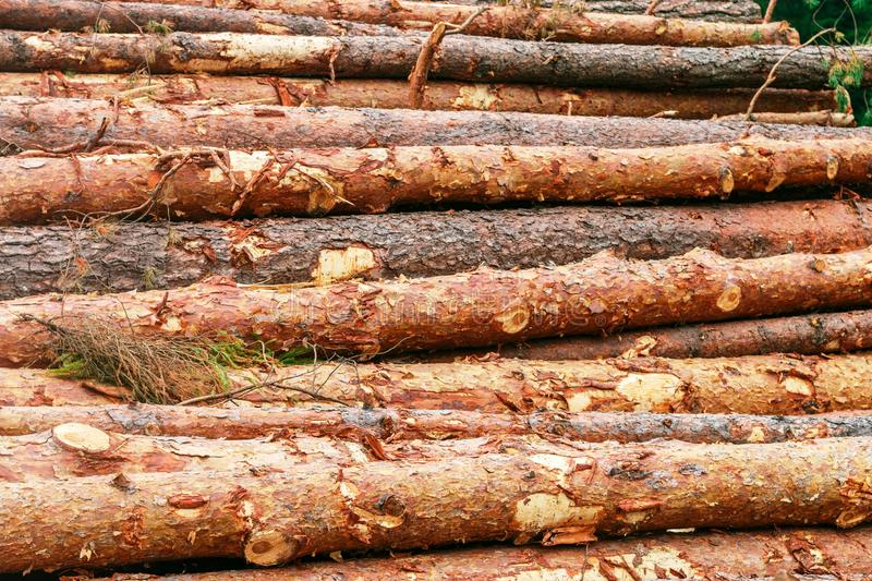 Woodpile of freshly chopped pine logs  in the forest stacked on top of each other. Selective focus royalty free stock image