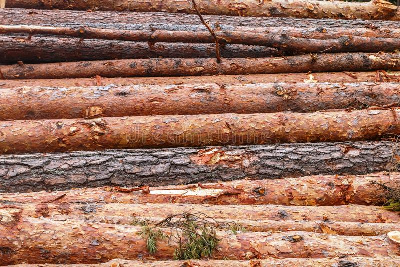 Woodpile of freshly chopped pine logs  in the forest stacked on top of each other. Selective focus royalty free stock images