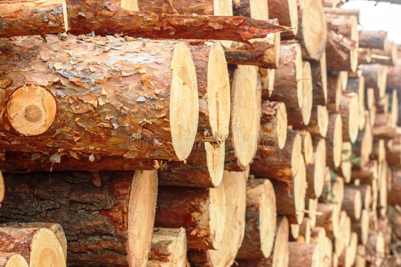 Woodpile of freshly chopped pine logs  in the forest stacked on top of each other. Selective focus stock photography
