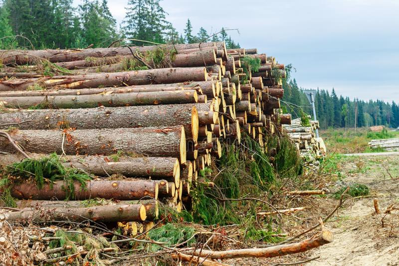 Woodpile of freshly chopped pine logs  in the forest stacked on top of each other. Selective focus stock image