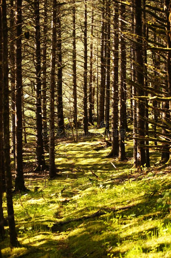 Through the Woods. A cleared path on a mossy forest floor through towering spruce trees royalty free stock photos