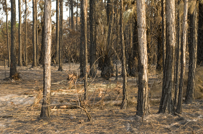 Download Woods Destroyed by Fire stock image. Image of burnt, woods - 5262371