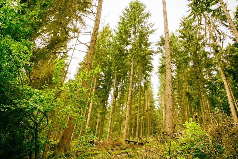 The woods of  Eifel National Park in North Rhine-Westphali Germany. Trees from the wood of the National Park Eifel in Germany North Rhine-Westphalia stock photos