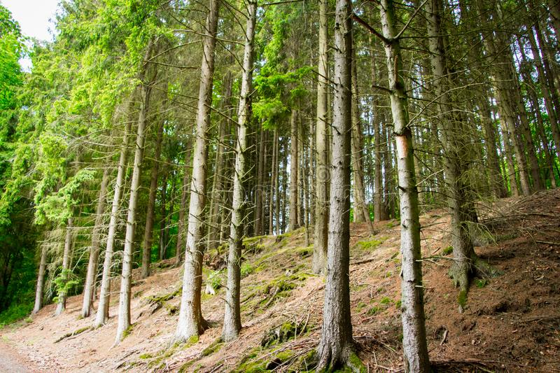 The woods of  Eifel National Park in North Rhine-Westphali Germany. Trees from the wood of the National Park Eifel in Germany North Rhine-Westphalia stock photography