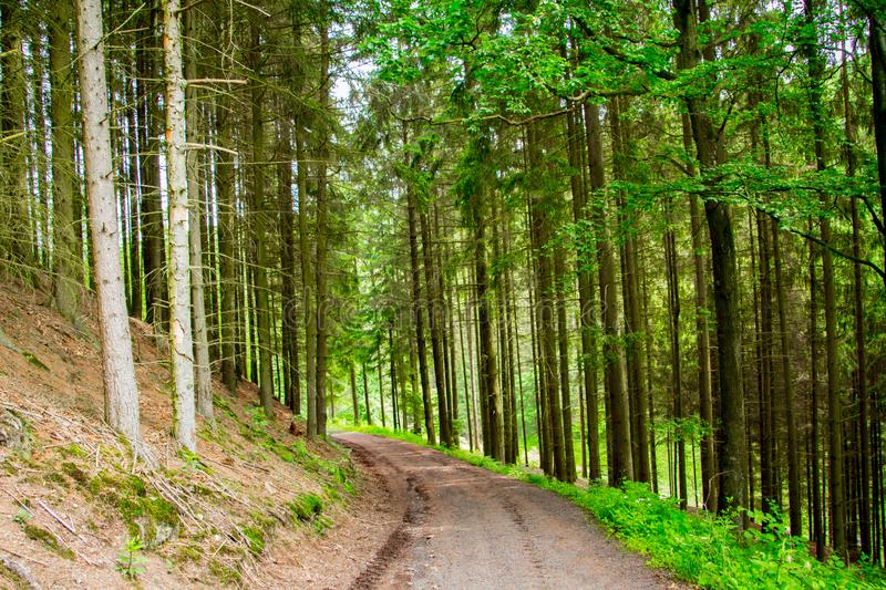 The woods of  Eifel National Park in North Rhine-Westphali Germany. Trees from the wood of the National Park Eifel in Germany North Rhine-Westphalia stock image