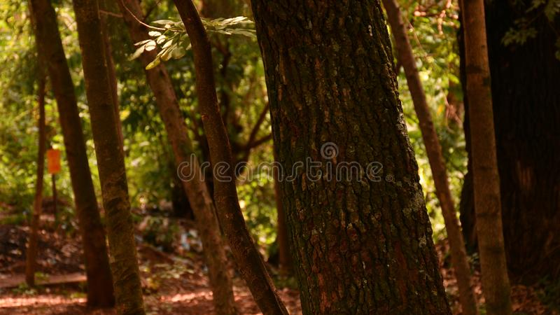 In the woods at noon with trees and leaves. A picture of tree trunks in a forested area with sunlight penetrating through. Leaves hanging and some on the ground stock image
