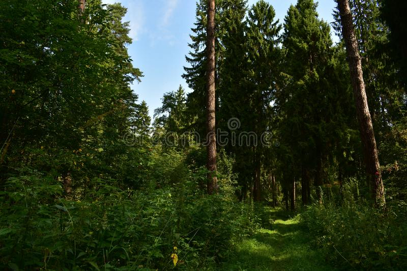 In the woods. The road in the spruce forest runs down a narrow path into the forest among fragrant fresh herbs evergreen forest. Smells of pine cones, resin and royalty free stock image