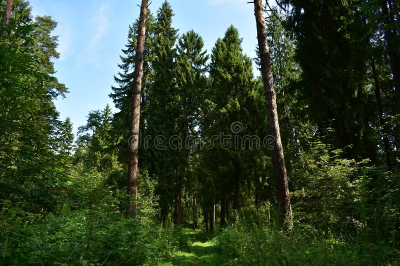 In the woods. The road in the spruce forest runs a path among the fragrant fresh herbs evergreen forest smells of pine cones. Resin and the charm of a dense stock photo