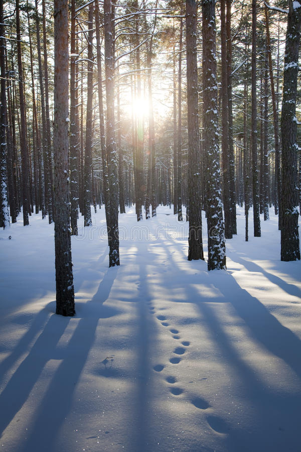 Woods at winter. Sun shine in forest at winter