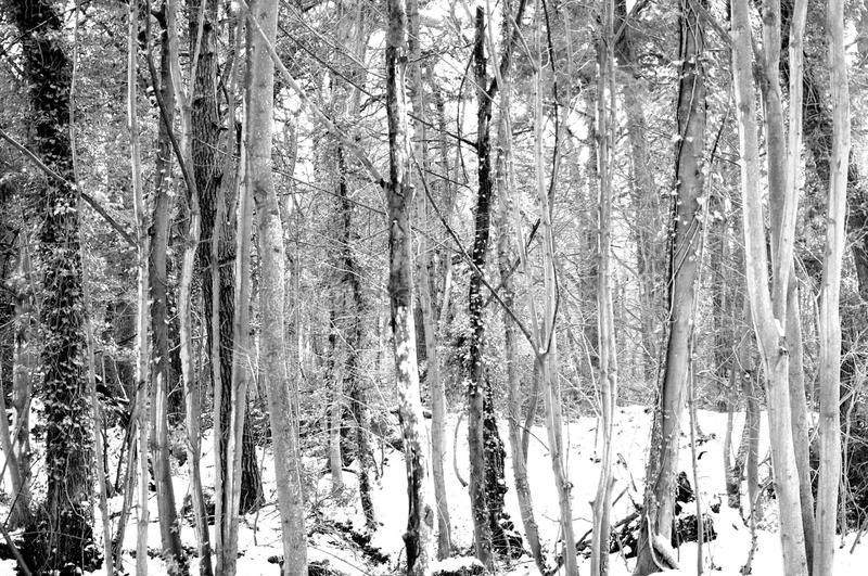Woods in Winter Monochrome royalty free stock photography