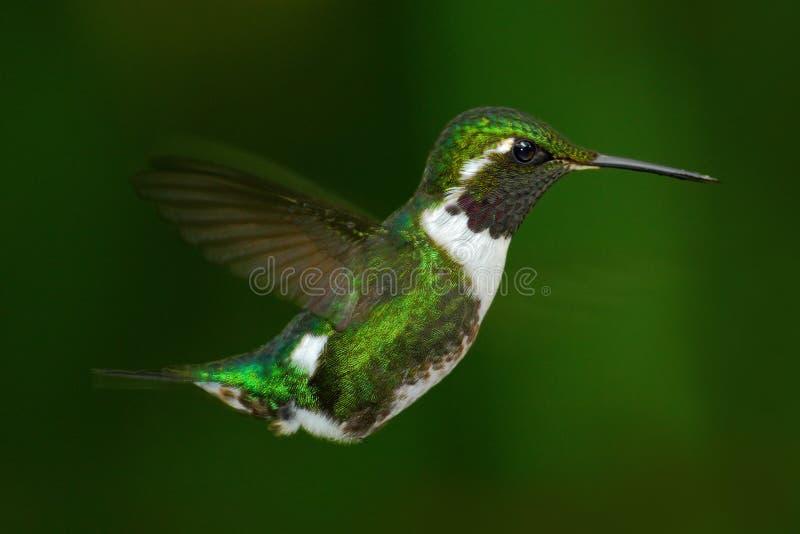 Woodstar Blanc-gonflé, Chaetocercus mulsant, colibri avec le fond vert clair, oiseau de Tandayapa, Equateur photographie stock