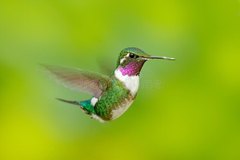 Woodstar Blanc-gonflé, colibri avec le fond vert clair Oiseau de Tandayapa Colibri d'Equateur Colibri dans national images stock