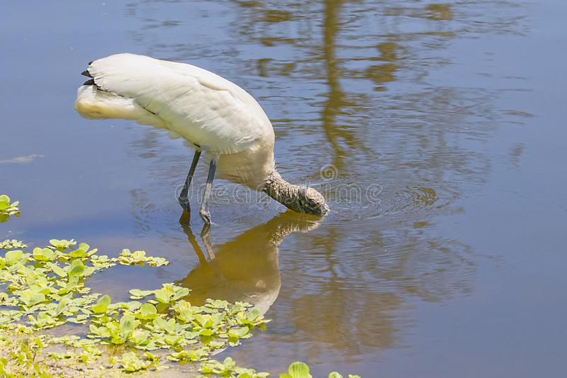 Woodstork Drinking Water With Face Submerged. A Woodstork drinking water with its face submerged royalty free stock images