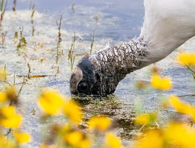 WoodStork in einem Florida-Sumpfgebiet lizenzfreies stockbild