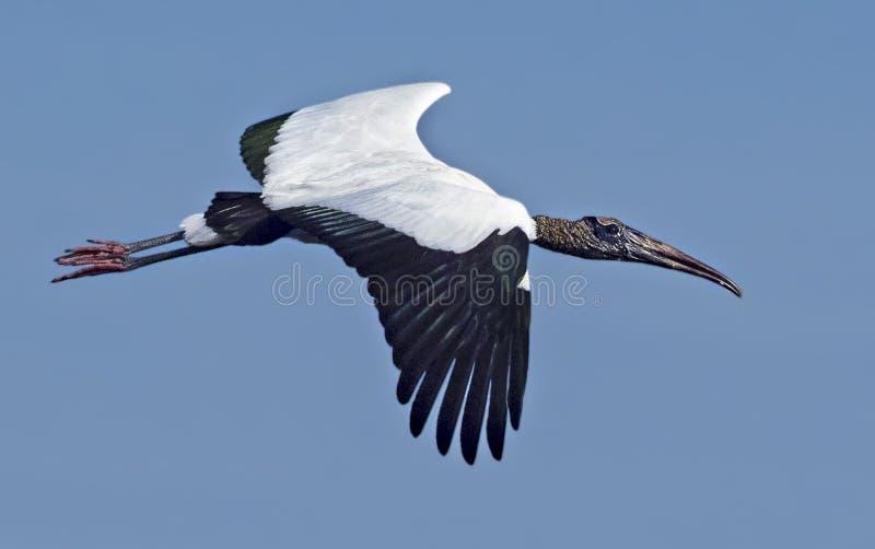 Woodstork Soaring over Wakodahatchee Wetlands royalty free stock image